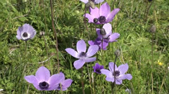 Anemone flowers zoom out Stock Footage