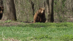 Two bears lounging near the forest Stock Footage