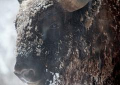 Close-up portrait of wild bison in winter Stock Photos