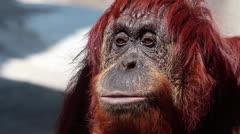 Orangutan signing - stock footage