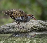 buff-banded rail bird - stock photo