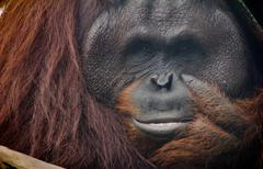 The Orang Utan Stock Photos