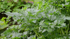 Parsley ecological spice closeup move wind Stock Footage