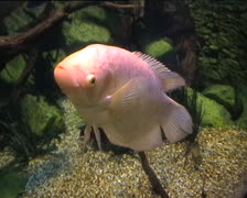 Pink Colored fish Stock Footage