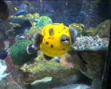 Yellow Box Fish Stock Footage