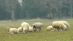 Lambs grazing Stock Footage