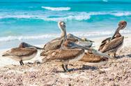 Stock Photo of flock of pelicanoes on a sandy beach