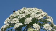 Heracleum mantegazzianum, giant hogweed in bloom Stock Footage