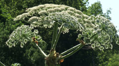 Heracleum mantegazzianum, giant hogweed in bloom - tree in background Stock Footage