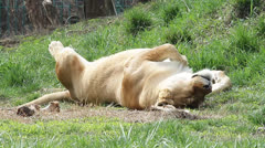 Lion sleeping in the sun on green grass (funny position) Stock Footage