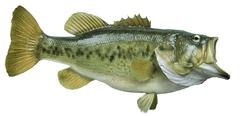 largemouth bass isolated on white background - stock photo