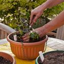 Stock Photo of planting hanging basket with flowers for summer garden