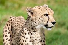 side portrait of cheetah against grass - stock photo