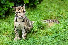 clouded leopard stitting on grass pensive - stock photo
