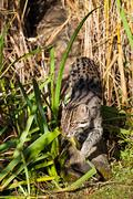 fishing cat sneaking through long grass - stock photo