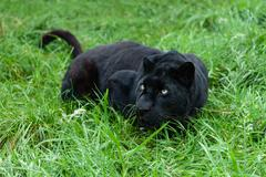 Black leopard stalking in long grass Stock Photos