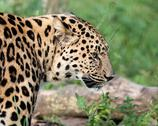 Stock Photo of side view head shot of beautiful amur leopard