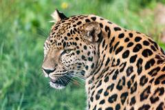 head short portrait of beautiful amur leopard - stock photo