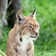 head shot portait of eurasian lynx against greenery - stock photo