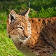 Eurasian lynx looking over shoulder Stock Photos