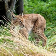 eurasian lynx prowling through long grass - stock photo