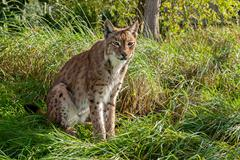 Eurasian lynx sitting in long grass Stock Photos