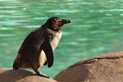 humboldt penguin standing on rock by green water - stock photo