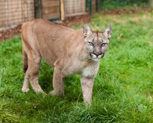 puma stalking through enclosure - stock photo