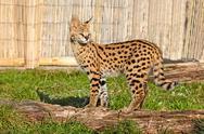 Serval kitten standing on log in sunshine Stock Photos