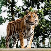 mature bengal tiger standing on wooden platform - stock photo