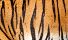 real tiger fur texture striped pattern background - stock photo