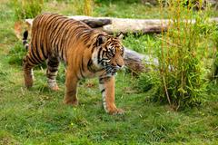 young sumatran tiger prowling through greenery - stock photo