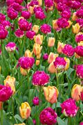 Colorful tulips flowerbeds Stock Photos
