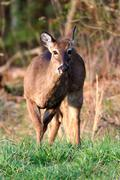 Deer in Cades Cove, Tennessee Stock Photos