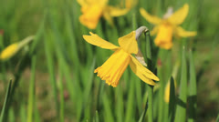 Stock Video Footage of Daffodil flower close-up