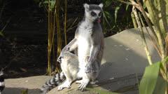 Lemur Sun Bathing Stock Footage