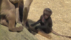 Two Baby Gelada Baboons Playing 2 Stock Footage