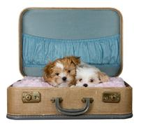 Two small puppies in a vintage suitcase Stock Photos