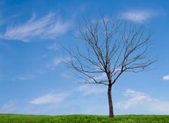 a barren tree with a blue sky and grass - stock photo