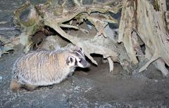 American badger Stock Photos