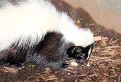 American hog-nosed skunk Stock Photos