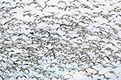 Stock Photo of snow geese