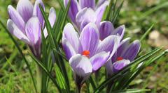 Stock Video Footage of Crocus flower closeup
