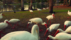 Swan and Birds at Lake - stock footage