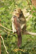 long-tailed macaque eating tree seeds - stock photo