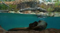 Otter Swimming Underwater Stock Footage
