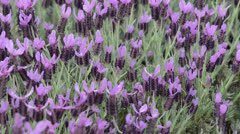 Lavender Field Close Up with Lady Bugs Stock Footage