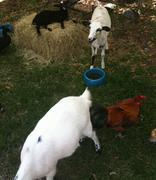 Goats at a Zoo Stock Photos