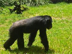 Walking Chimp - stock photo