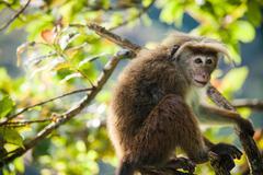 Stock Photo of The rhesus macaque monkey (Macaca mulatta)